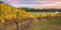 Rovs of yellow leafed fines at Vineyard in Yarra Valley, Victoria, Australia